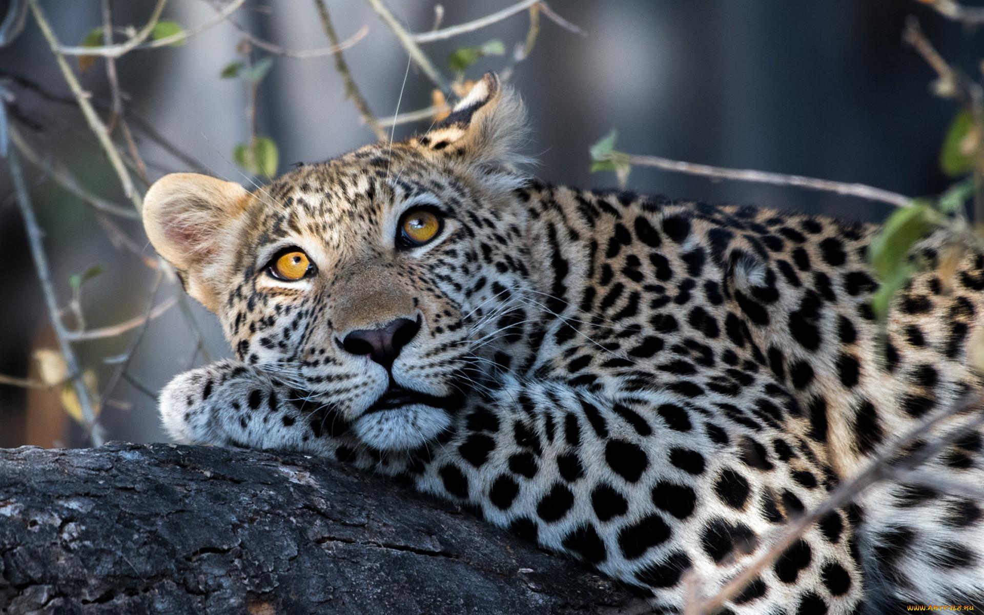 кукушкиных лучшее фото леопарда защиту